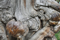 Old tree with big knot Stock Photo