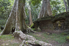 Old tree with big roots in Angkor Wat Royalty Free Stock Photos