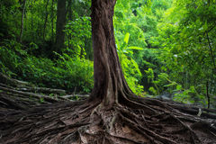 Old tree with big roots in green jungle