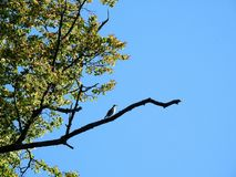 Old tree and bird on branch, Lithuania Stock Photo