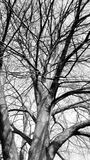 Old tree in black and white Royalty Free Stock Image