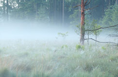 Old tree on bog in morning mist Royalty Free Stock Photo