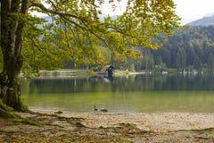 Old tree by the Bohinj lake, Slovenia Stock Photography