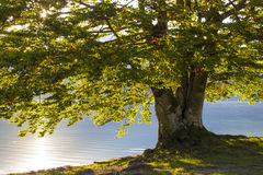 Old tree by the Bohinj lake in Slovenia Royalty Free Stock Images