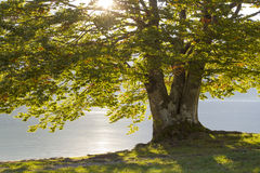 Old tree by the Bohinj lake stock photography