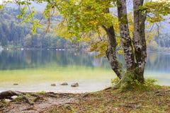 Old tree by the Bohinj lake, Slovenia Royalty Free Stock Photos