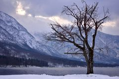 Tree by the Bohinj Lake stock photos