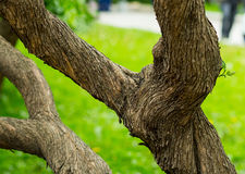 Old tree branched with twisted bark on a green. Background Stock Image