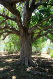 Old tree with branches offering shade to anyone standing beneath Royalty Free Stock Images