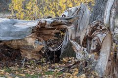 Old tree broken by storm, hit by lightning Stock Image