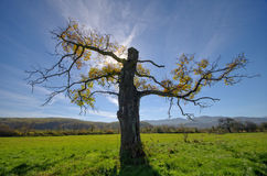 Old tree with a broken tip of the meadow. Stock Images