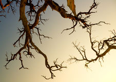 Old tree brunches on evening sky background Stock Photos