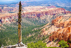 Old tree in Bryce Canyon national park, Utah, USA Stock Image