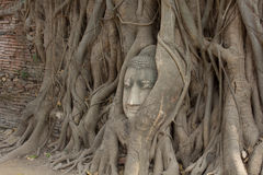 Old tree with buddha head Royalty Free Stock Images