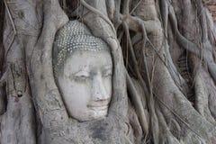 Old tree with buddha head Stock Photos