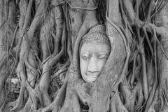 Old tree with buddha head Royalty Free Stock Photo