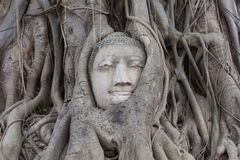 Old tree with buddha head Royalty Free Stock Photo