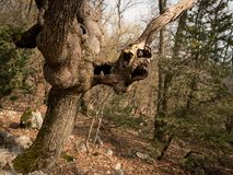 An old tree with cavities and holes. In spring Island Cres, Croatia royalty free stock photography