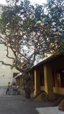 Old tree. Colombo city centre Stock Photography