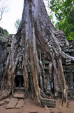Old Tree that cover the Wall in Wat Ta Prohm Royalty Free Stock Photos