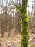 Old tree covered by going green moss. Old tree covered by green moss Royalty Free Stock Images