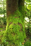 Old tree covered with moss Stock Images