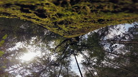 Old tree. Covered with moss in a green forest stock video