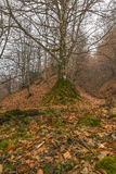 An old tree covered with moss in the mountains Gabala.Azerbaijan Royalty Free Stock Image