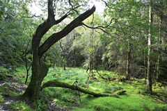 Old tree covered with moss. Royalty Free Stock Photo