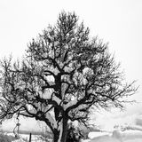 Old tree covered with snow in winter, black-and-white-photography stock photo
