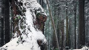Old Tree Covered In Snow In Winter Forest. Gnarled old tree trunk in the woods with snow falling stock video footage