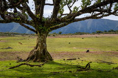 Old tree and cows at the fields of Fanal national park, Madeira island. Royalty Free Stock Images