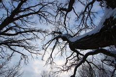 Old Tree Creeping Skywards Royalty Free Stock Images