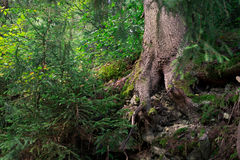 Old tree with crooked roots in the coniferous forest Royalty Free Stock Photos