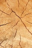 Old Tree Cross Section Royalty Free Stock Image