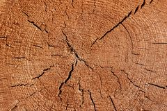 Old Tree Cross Section Royalty Free Stock Photo
