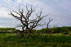 Old tree with curved branches in the field,  Norfolk,  United Kingdom. The Norfolk Coast Area of Outstanding Natural Beauty is a protected landscape in Norfolk Royalty Free Stock Photo