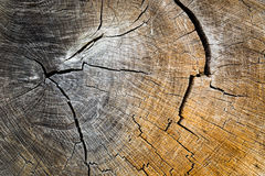 Old tree cut. Old oak tree cut - abstract natural background Stock Photos