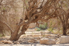 Old Tree in the Desert Oasis of Ein Gedi Stock Image