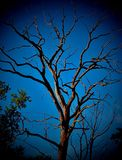 Old Tree. Old dry tree which is itself against the cerulean sky Stock Image