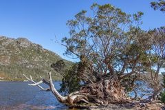 Old tree on the edge of Lake Dove in Tasmania. Old tree and tree stump on edge of tannin stained waters of Lake Dove in Tasmania. Blue sky and mountain in royalty free stock photography