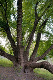 Old tree elf Stock Photography