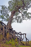 Old tree with exposed tangled roots Stock Photos