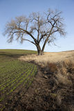 Old tree by farm field. Stock Image