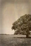 Old Tree in Field Royalty Free Stock Photo