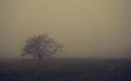 Old tree in the field a foggy day Royalty Free Stock Image