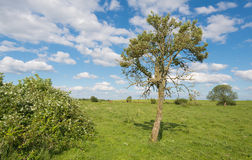 Old tree in a flat rural landscape Royalty Free Stock Images