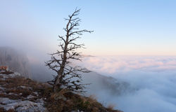 Old tree in foggy mountains Royalty Free Stock Photo