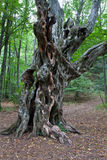 Old tree in forest Stock Images