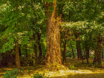 Old tree in forest Royalty Free Stock Photography
